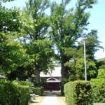 蓮台寺の大銀杏