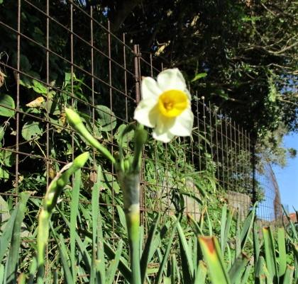 早咲きの水仙